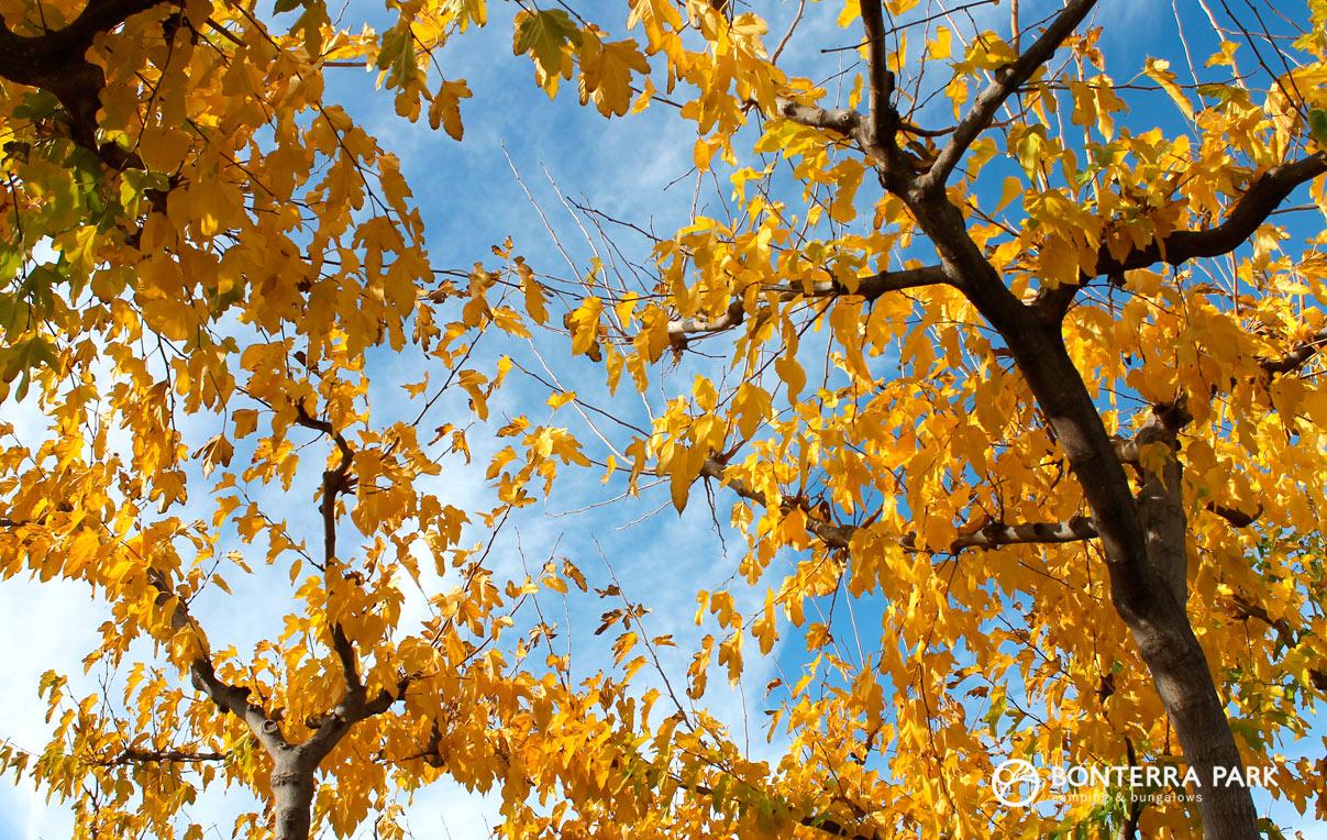 Hojas amarillas en otoño en Benicàssim